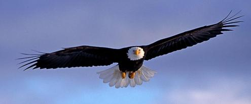 SOARING EAGLE-1000 pixels wide